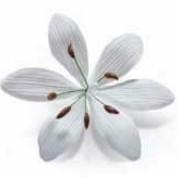 Bridal Lily White