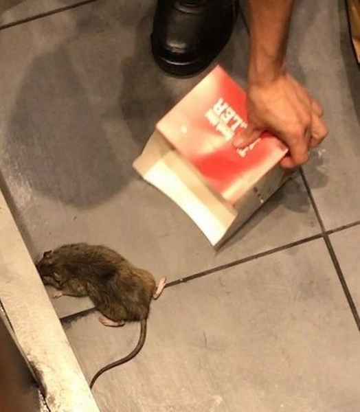 Huge rat filmed running rings around KFC staff who stamp on it after it leaps into diner's lap