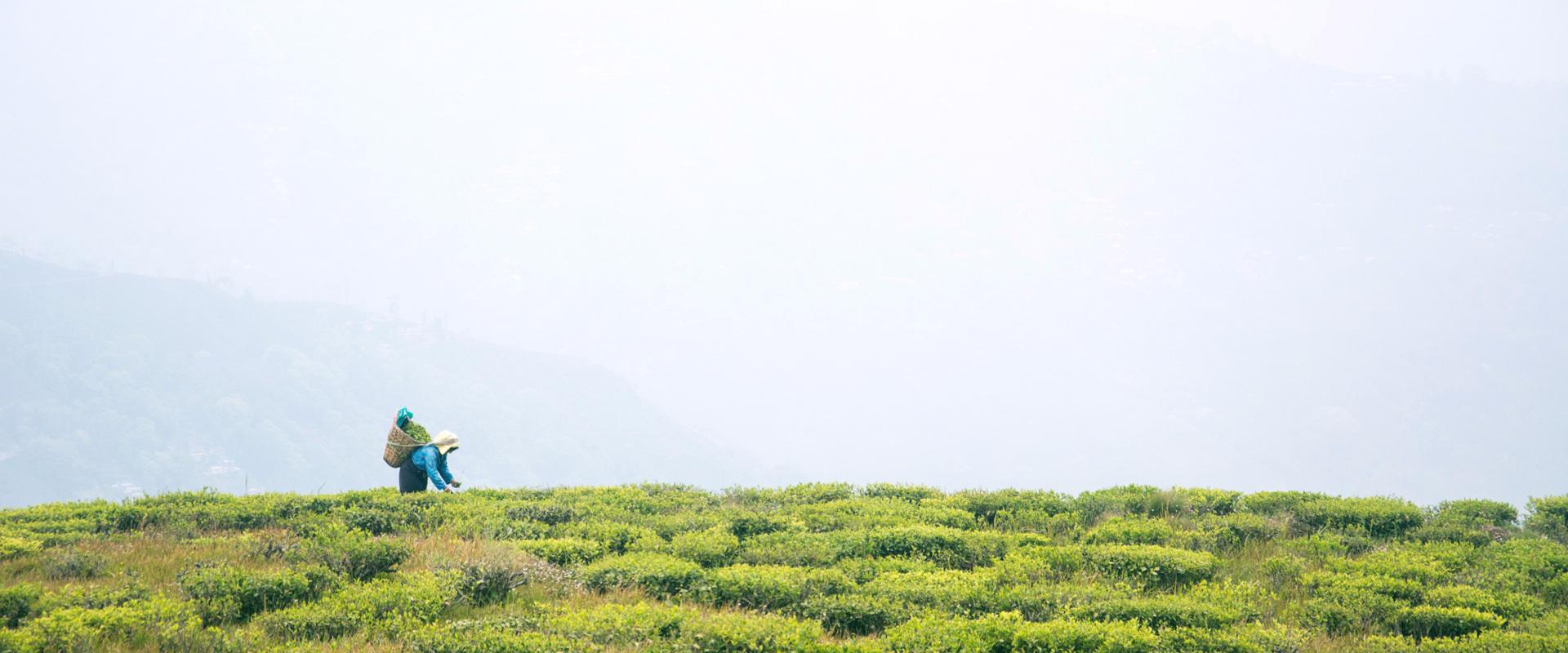 Japanese Matcha Green Tea from Kyoto Shizuoka Kagoshima