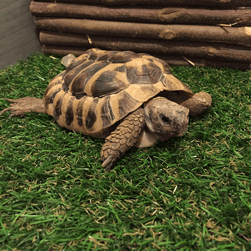 Fudge the Tortoise and his new Haddon artificial grass