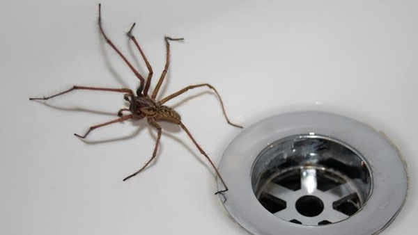 150 Million Giant Spiders Ready To Invade British Homes.