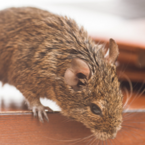 Tips to prevent mice in your offices.
