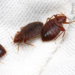 Getting rid of fleas.