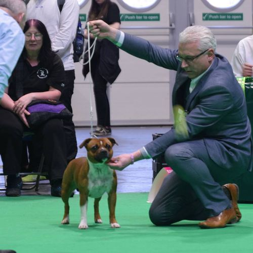 9th March 2018 - CRUFTS - Paul Stanway - 1st Mid Limit Bitch (17,5)