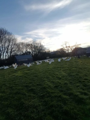 Welsh free range chickens & ducks