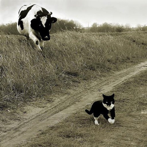 The cow and the pussy cat!