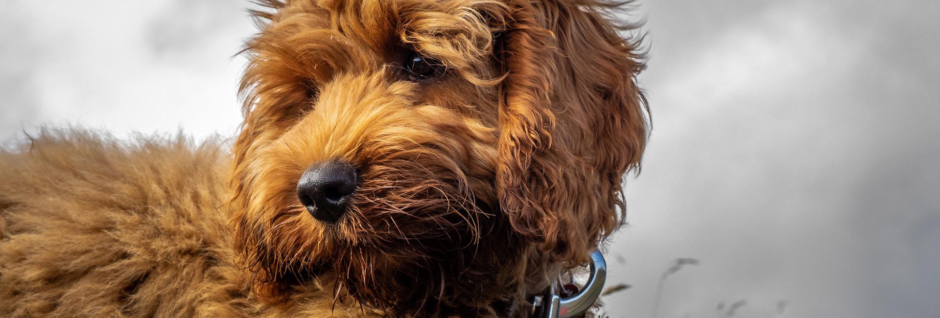 Puppy Training Caerleon Langstone