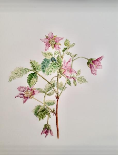 Blaeberries and Salmonberries in Springtime