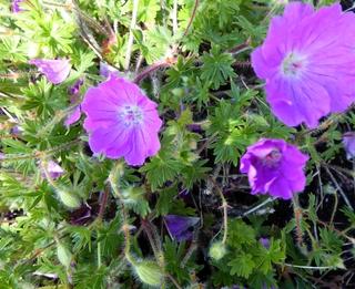 Geranium: Pelargonium or Cranesbill?