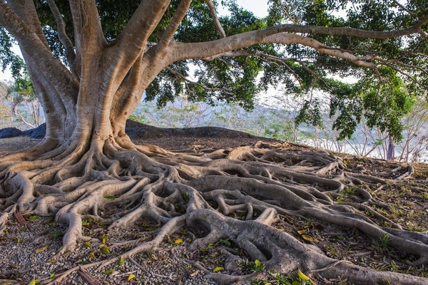 How deep do tree roots grow?