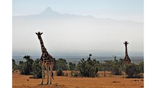 Giraffe at Mount Kenya