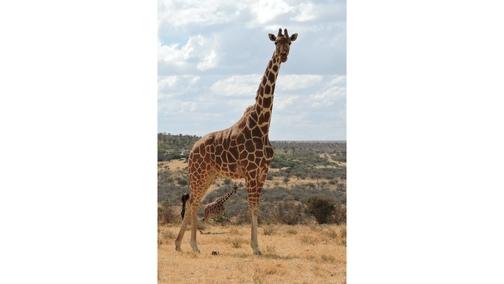 Giraffe at Mpala