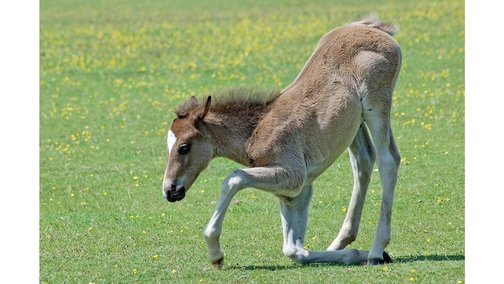 Bowing foal