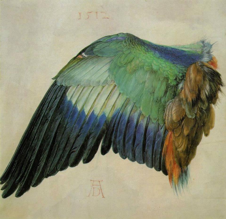 estudio de un ala de pájaro de Alberto Durero