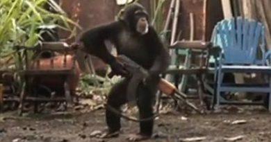 Huérfanos de auténticos jefaturas, la rebelión de las masas queda liderada por el chimpancé con un AK-47. Por Rodolfo Arévalo