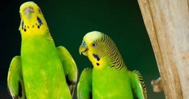 El periquito. Un pájaro fiel a su pareja de por vida