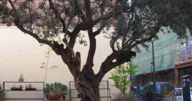 De nuestras espectrales calles ilumino el olivo del cementerio de San Sebastián