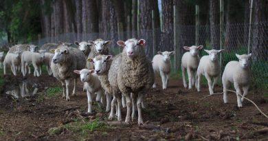 Ya lo sabes, a esperar la leche y la lana de rodillas, a su debida hora y sin protestar