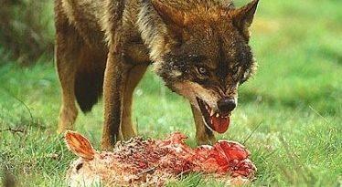 El gobierno vulnera derechos de los ganaderos para otorgar otros al lobo