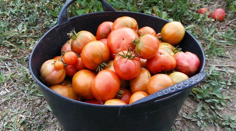 En los últimos años se han perdido mas de 2.200 hectáreas de cultivo de tomate en Andalucía