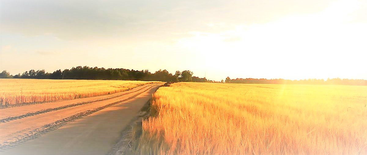 campo-di-grano-h