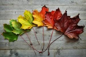 Autumn Maple leaf transition
