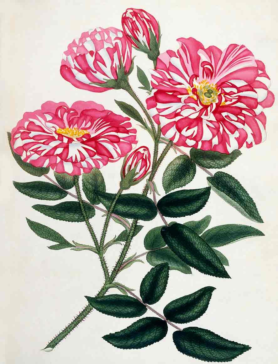 Rosa Gallica from Roses Vol.I (custom print)