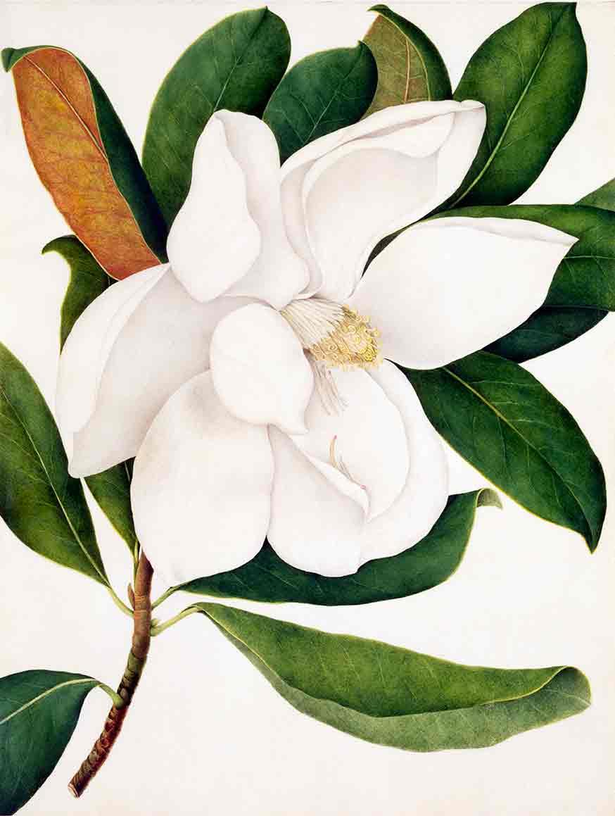 Magnolia Grandiflora (custom print)