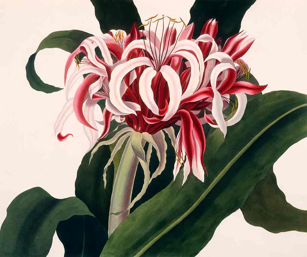 Crinum Augustum from Hexandrian Plants (custom print)
