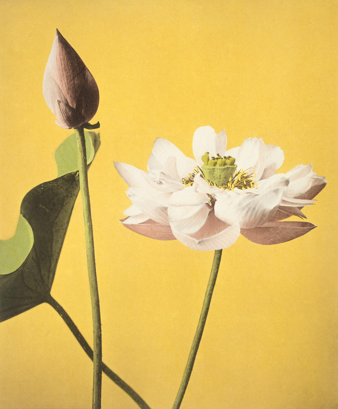 Lotus From Some Japanese Flowers Custom Print