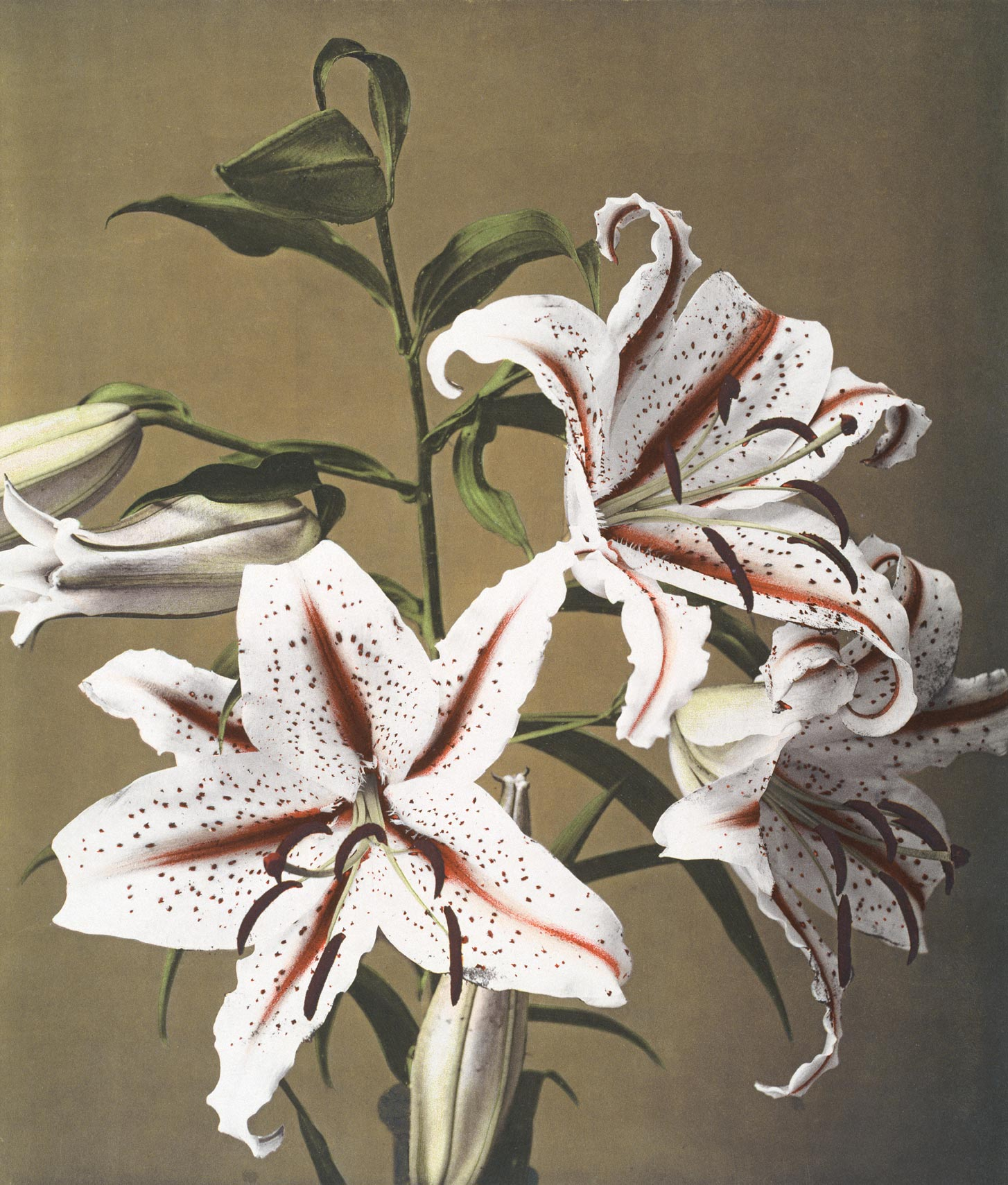 by Kazumasa Ogawa hand\u2013colored collotype from Some Japanese Flowers Fine Art PrintPoster Lily 1896