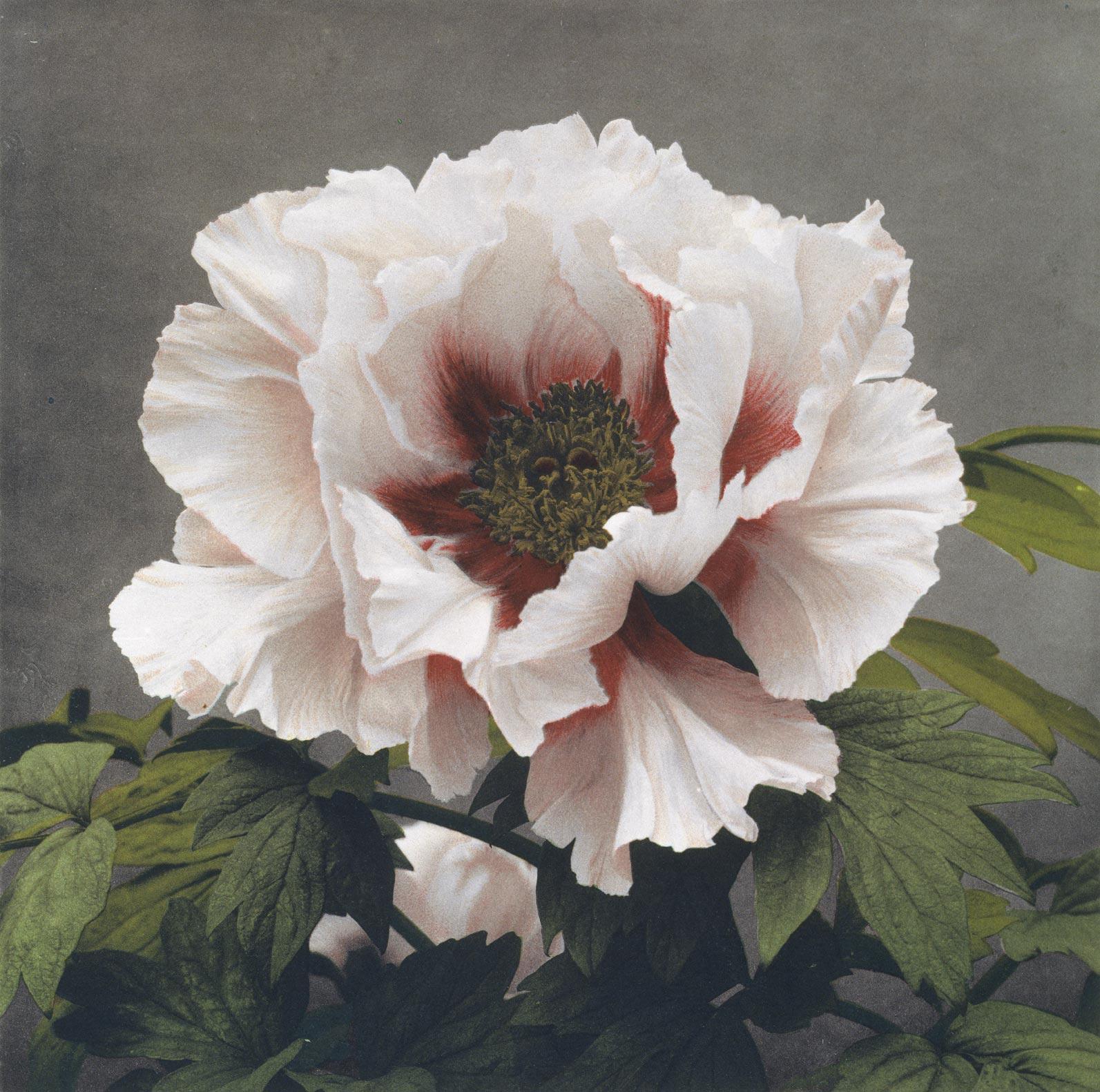 Peony From Some Japanese Flowers Custom Print