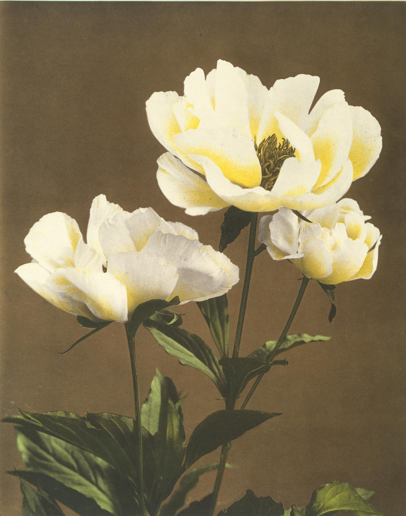 Herbaceous Peony White From Some Japanese Flowers Custom