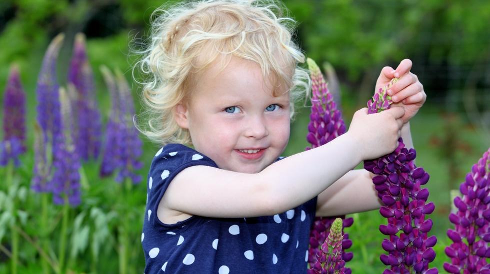Lupin er en giftig plante. Illustrasjonsfoto: Shutterstock