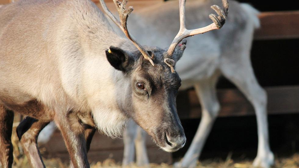 Se reinsdyr i Polarpark. Illustrasjonsfoto: Shutterstock