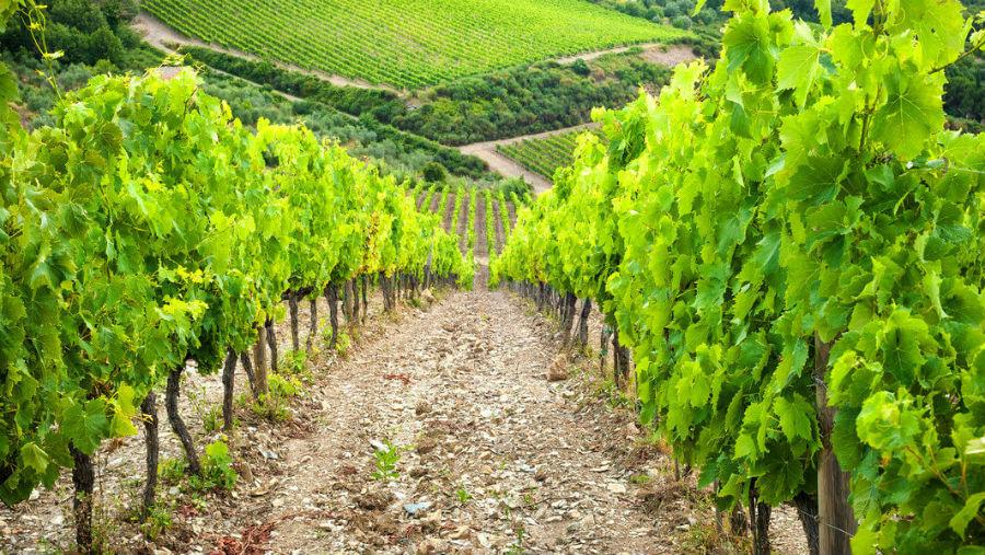 vigne del chianti