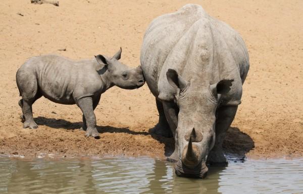 hvor meget vejer et næsehorn
