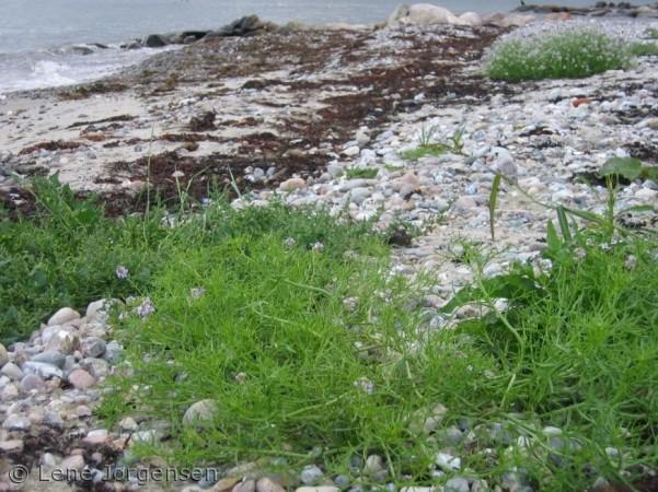 spiselige planter på stranden