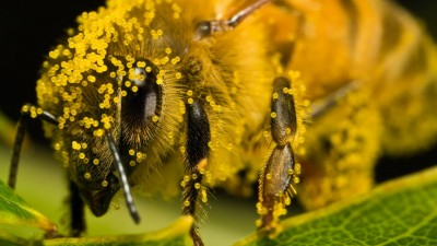 Honey bees becoming more resistant to pesticides