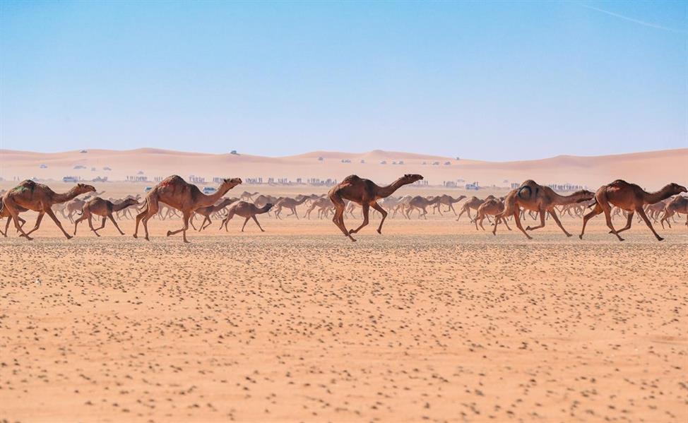 المطيري يحصد أول لقب لمسابقة الهجيج بمهرجان الملك عبدالعزيز للإبل
