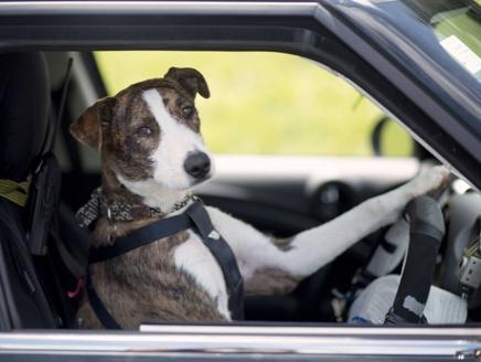 الكلاب المهملة تقود السيارات في نيوزيلندا