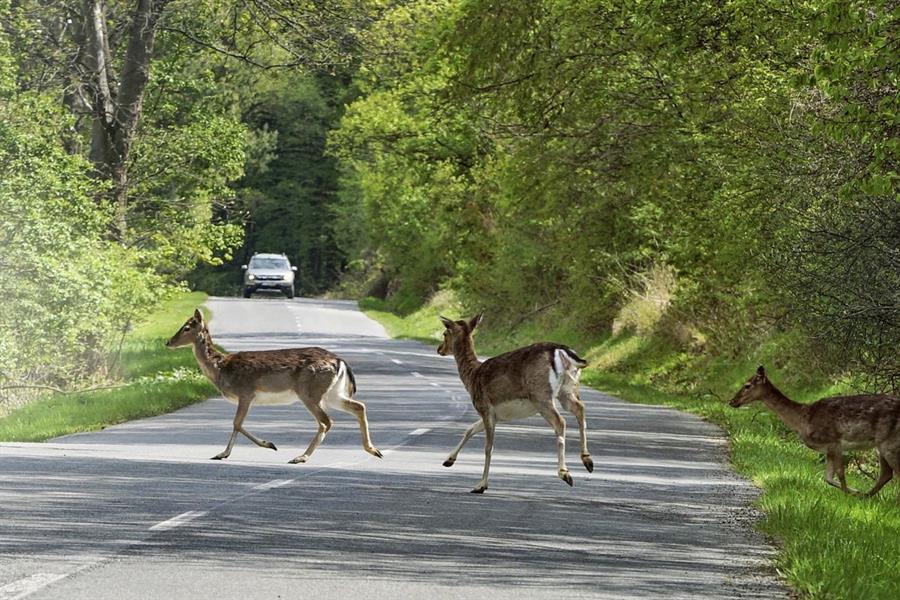 ظهور حيوان على الطريق بشكل مفاجئ