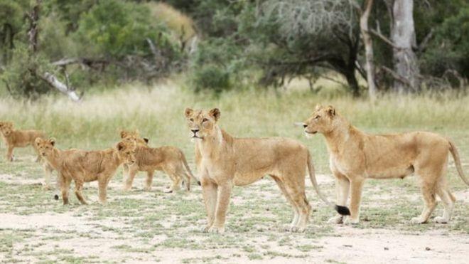 هروب أسدا محمية جنوب أفريقيا