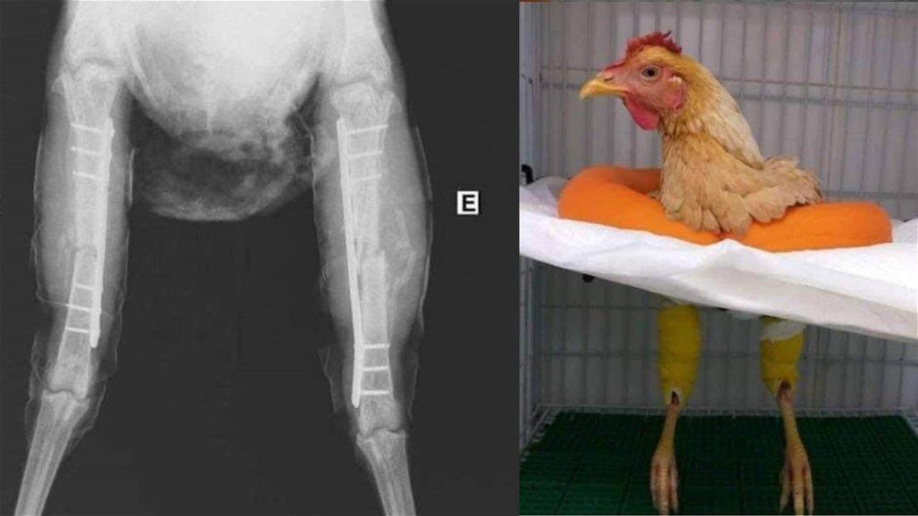خدعة الدجاجة التي تم علاجها بعملية جراحية في مصر