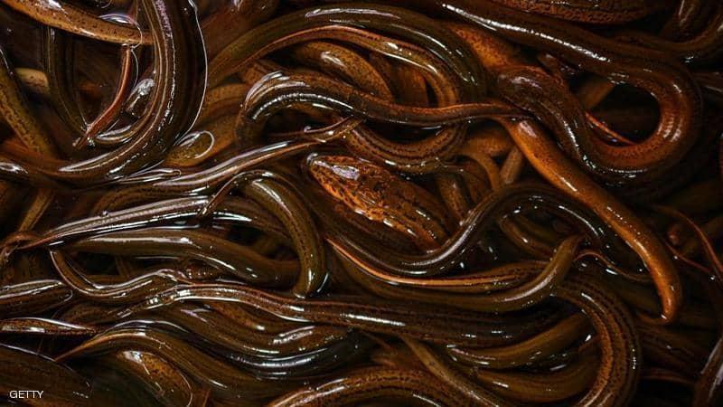العثور على كومة كبيرة جداً من الثعابين الحية في نيويورك