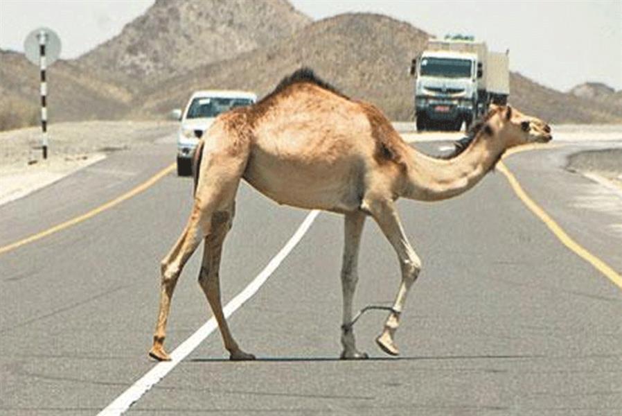 """""""المرور"""": عبور الحيوانات السائبة من غير الأماكن المخصصة مخالفة.. وغرامتها 10 آلاف ريال"""