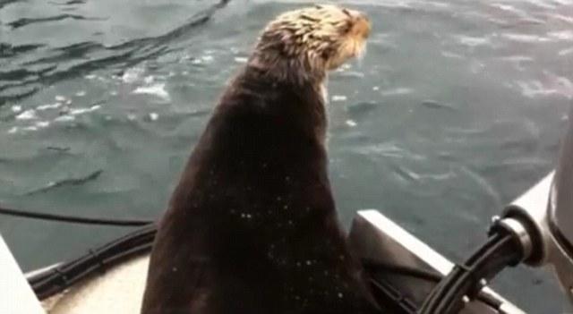 ثعلب الماء تتراقب صغيرها اثناء افتراسه من الحيتان القاتلة