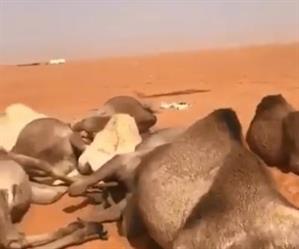 فيديو يوثق نفوق 11 ناقة في رماح.. ومصور المقطع: نفقت بسبب صاعقة رعدية