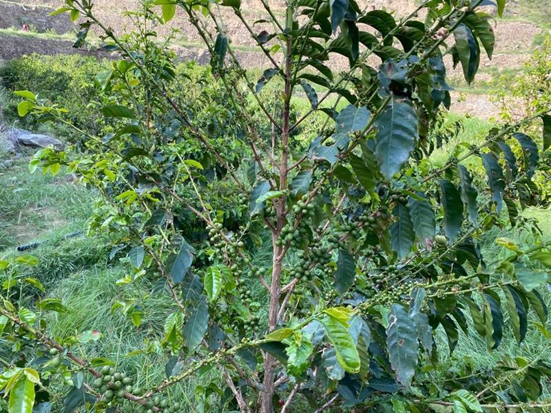أشجار القهوة