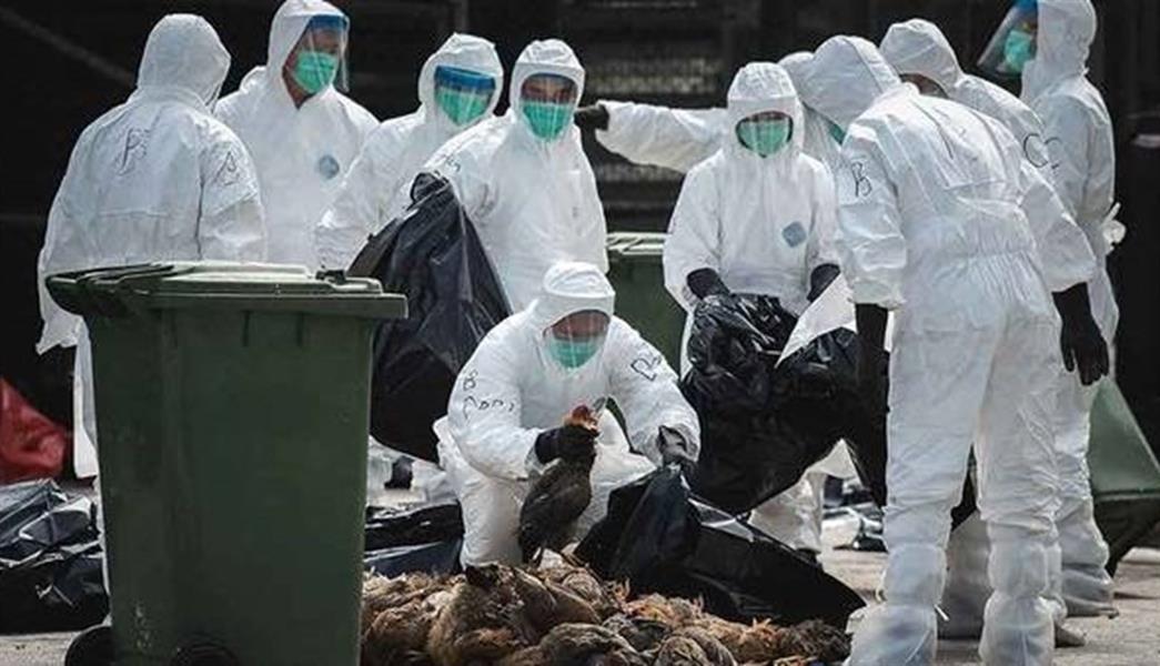 فرنسا تعدم 700 ألف من الطيور الداجنة مع تفشي إنفلونزا الطيور